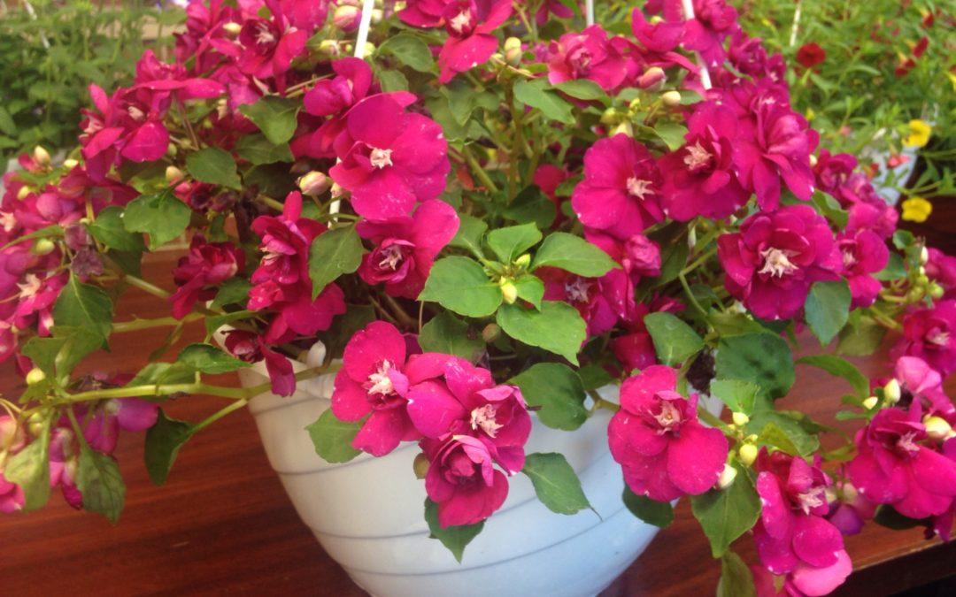 Spring Hanging Basket Voucher Sale